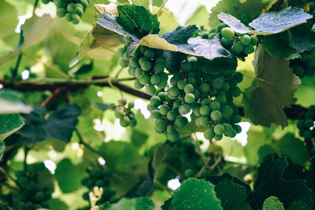 Crop Insurance for Wine Grapes